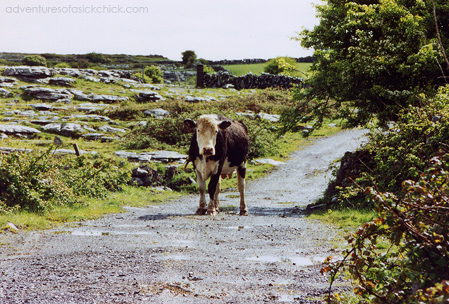 Vintage Vacation, Ireland, Cow